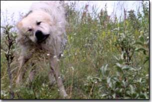 Great Pyrenees-Solomon shaking off water in grass lands