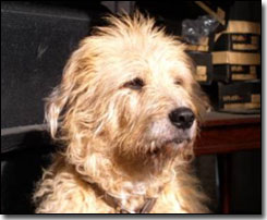 Terrier-Jake sitting in the sun