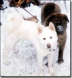 Akita-Odin standing with Neufie/Akita X-Khan in the snow